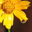 yellow flower with rain drop by SusieG