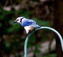 Beautiful Blue Jay by Marcia Rubin