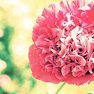 Pale Pink Poppy by babibell
