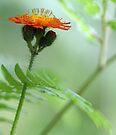 Orange Hawkweed and Wood Fern by T.J. Martin