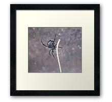 Busy Black Widow Framed Print