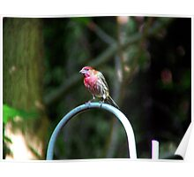 House Finch - Male  Poster