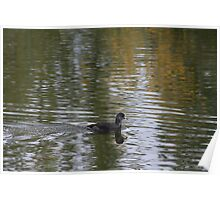 Reflecting Coot Poster
