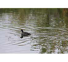 Young American Coot Photographic Print
