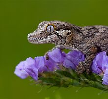 Young Gargoyle gecko by Angi Wallace
