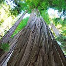 Big Redwoods by Randall Robinson