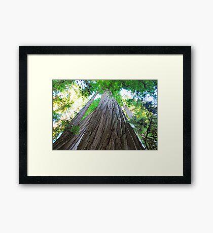 Big Redwoods Framed Print