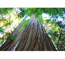Big Redwoods Photographic Print