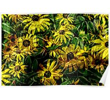 Variegated Black Eyed Susans Poster