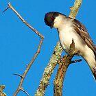 Eastern Kingbird  by Marcia Rubin