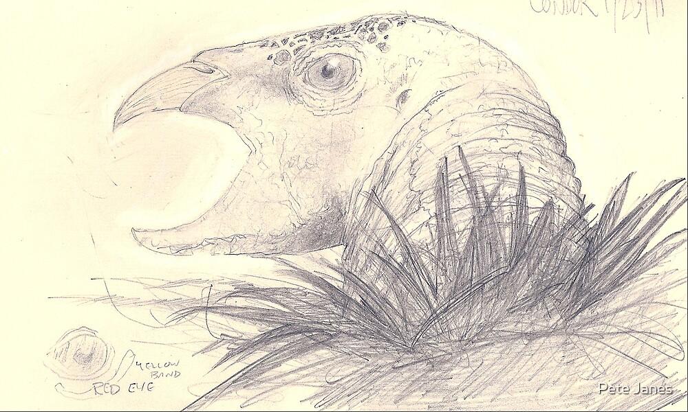 California Condor pencil sketch by Pete Janes