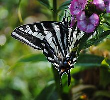 Butterfly On Sweet Williams by Jonice