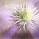 Clematis by Margi