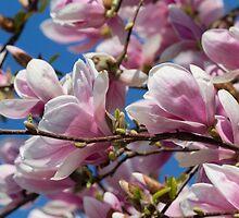 magnolia flower on tree by spetenfia