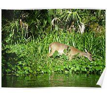 Deer at Wekiva Poster