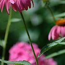 echinasea and a beautiful blur... by dabadac
