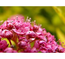 Pink flower clusters Photographic Print