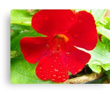 Water droplets on flower Canvas Print