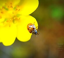 """"""" Buttercup World """" by Richard Couchman"""