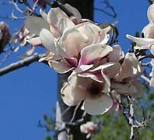 Magnolia Blossoms by art2plunder