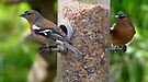 Chaffinches by Carol Bleasdale