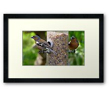 Chaffinches Framed Print