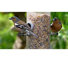 Chaffinches Photographic Print