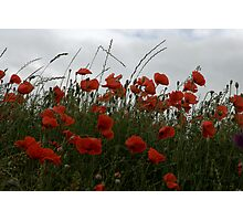 Corn Poppies Photographic Print