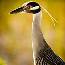 Yellow Crowned Night Heron by Phillip  Simmons