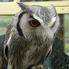 White Faced Scops Owl by ChelseaBlue