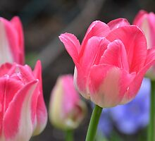 Tulips in the park by Paul Gloor