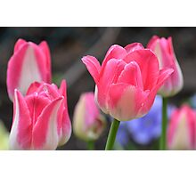 Tulips in the park Photographic Print