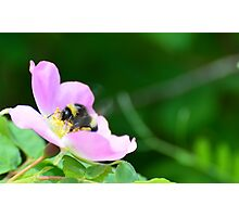 Bumble Bee on a wild rose Photographic Print