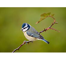 Blue tit, perched on rose branch Photographic Print