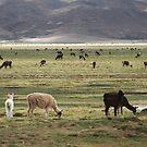 Got llama? by Michael Dunn