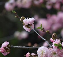 Pink blossoms by Paul Gloor