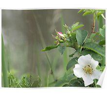Wild rose, white Poster