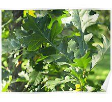 Oak leaf Poster