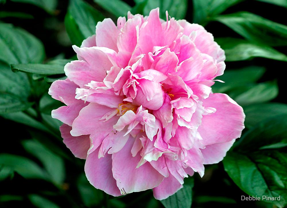 Pink Peony 2 by Debbie Pinard