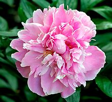 Pink Peony 2 by Debbie Pinard