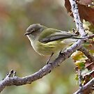 The Weebill by Rick Playle