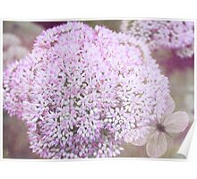 Sedum Flower Poster