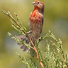 House Finch by Michael  Moss