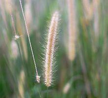 Fountain Grass by thepathtraveler