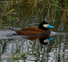 Ruddy Duck by tedmonds