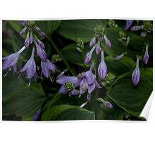 Hosta Plant with Beautiful Purple Flowers Poster