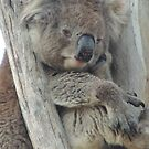 Daydreaming koala at Belair National Park by Dan & Emma Monceaux