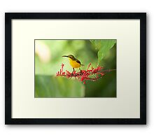 Yellow Bellied Sunbird Framed Print