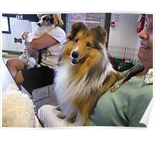 Dreamboat Sheltie Poster