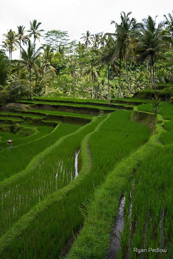 Rice paddies @ Gunung Kawi  by Ryan Pedlow